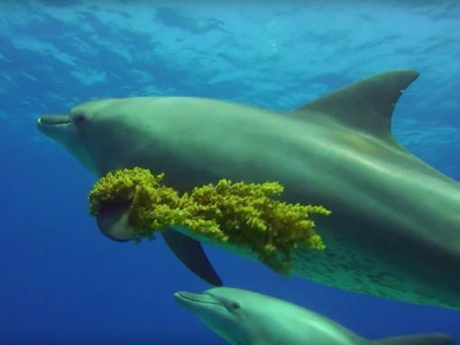 Impact of tourism on dolphins